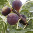 Figues  Figues violettes